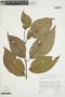 Banisteriopsis caapi image