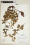 Banisteriopsis confusa B. Gates, BRAZIL, F