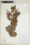 Banisteriopsis confusa B. Gates, BOLIVIA, F