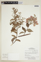 Banisteriopsis muricata (Cav.) Cuatrec., BRAZIL, F