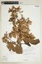 Banisteriopsis muricata (Cav.) Cuatrec., BOLIVIA, F