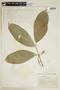 Bunchosia hookeriana A. Juss., COLOMBIA, F