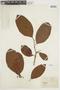 Byrsonima crassifolia var. cinerea Nied., FRENCH GUIANA, F