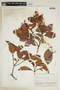 Byrsonima crassifolia (L.) Kunth, BOLIVIA, F