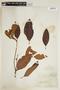 Byrsonima crassifolia (L.) Kunth, FRENCH GUIANA, F