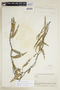 Carolus chlorocarpus (A. Juss.) W. R. Anderson, BOLIVIA, F