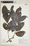 Diplopterys cabrerana (Cuatrec.) B. Gates, PERU, F