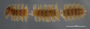 459 Caliodesmus phanus HT D IN n60 cz9