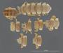 536 Amplinus constrictus HT D IN n60 hf25