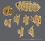 536 Amplinus constrictus HT V IN n60 hf25