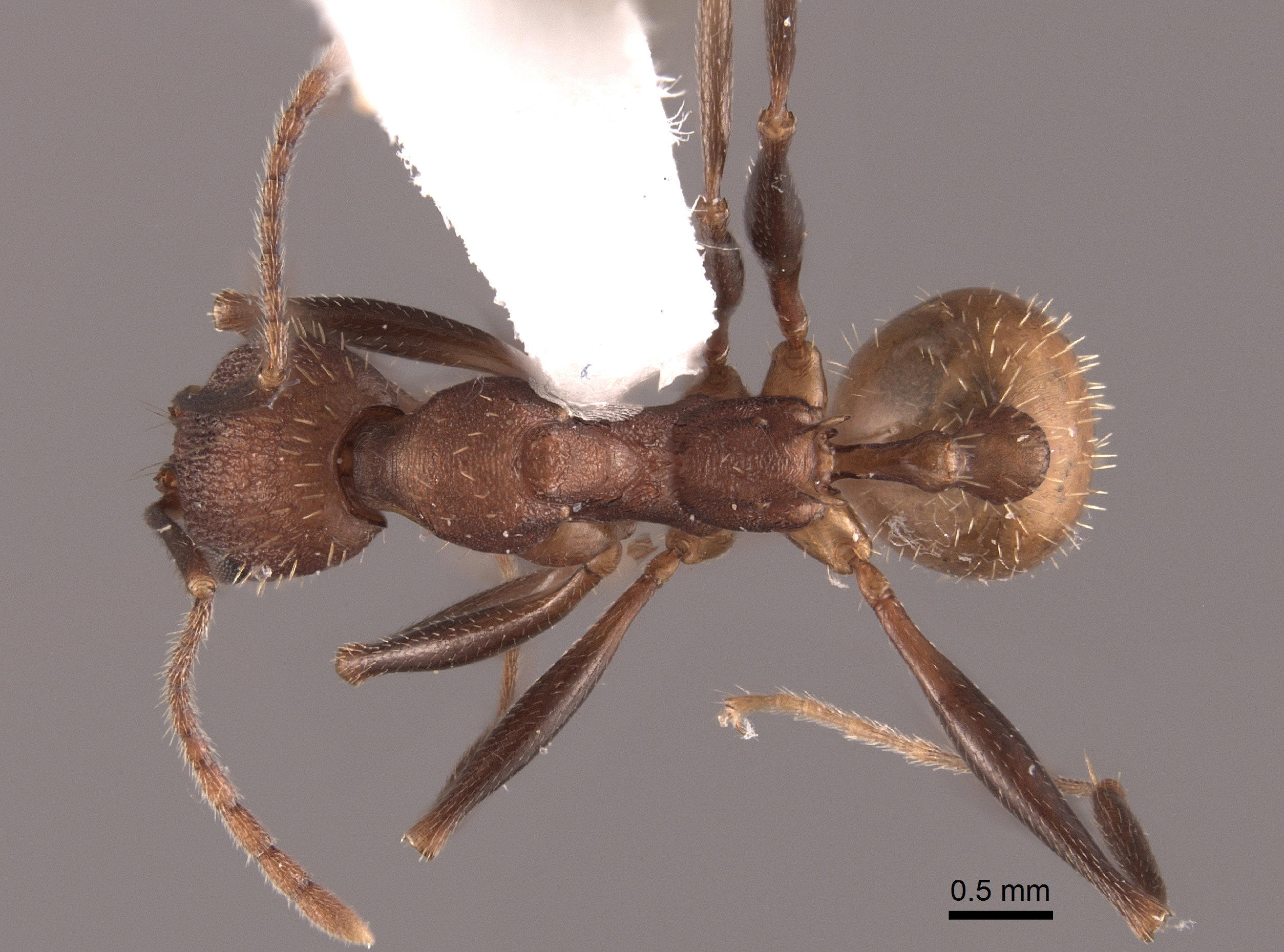 Image of Aphaenogaster lamellidens