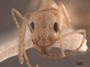 62932 Aphaenogaster megommata H IN
