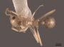 62932 Aphaenogaster megommata D IN