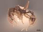 49661 Aphaenogaster picea P IN