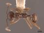 49661 Aphaenogaster picea D IN