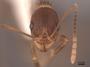 62941 Aphaenogaster rudis H IN