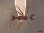62542 Aphaenogaster swammerdami D IN