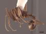 62927 Aphaenogaster texana P IN