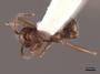 62927 Aphaenogaster texana D IN