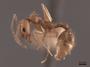 49642 Aphaenogaster texana carolinensis P IN