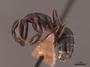 45723 Camponotus caryae P IN