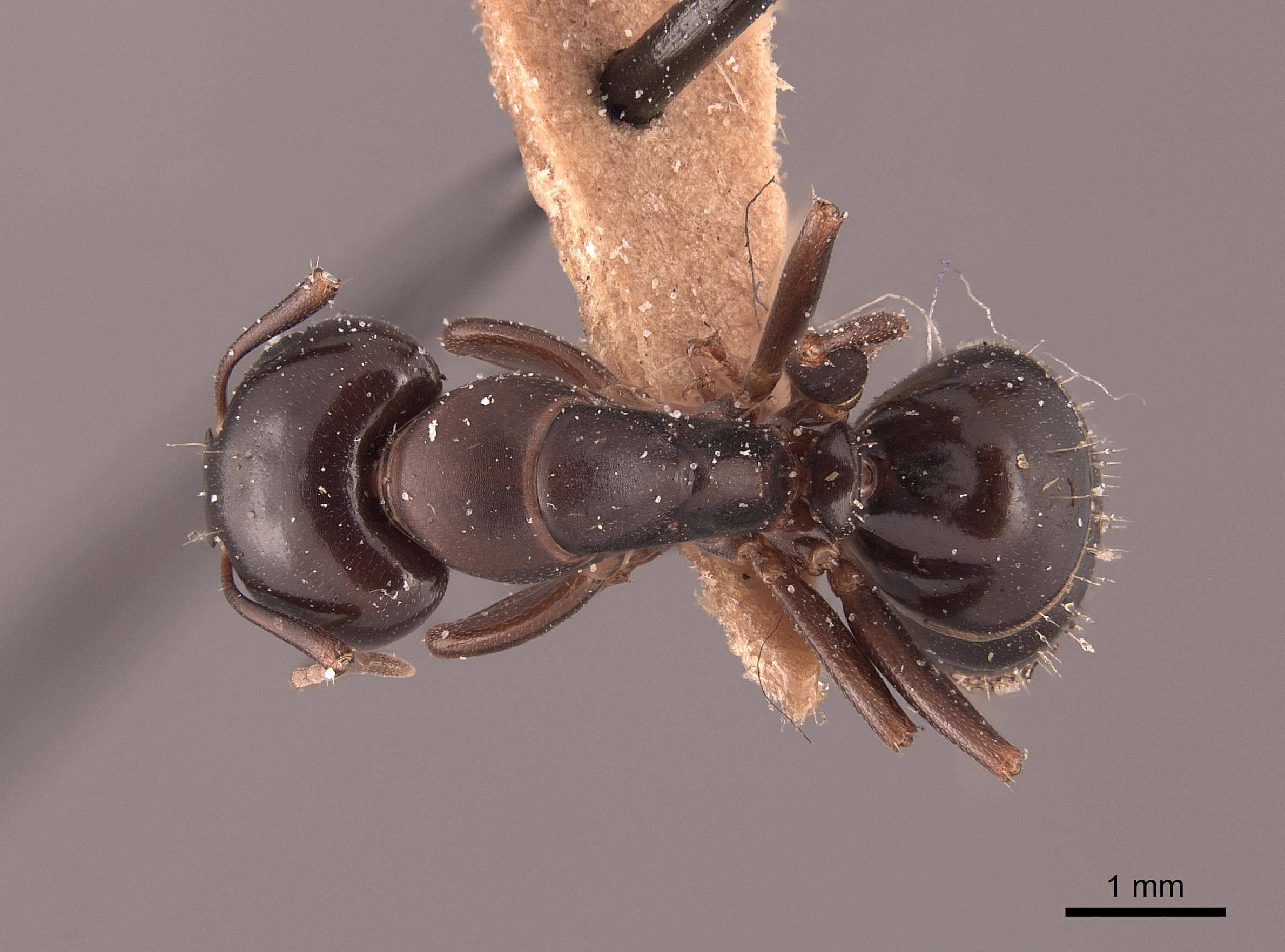 Image of Camponotus caryae