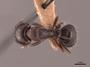45723 Camponotus caryae D IN