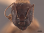 45726 Camponotus clarithorax H IN