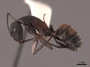 45747 Camponotus cruentatus P IN