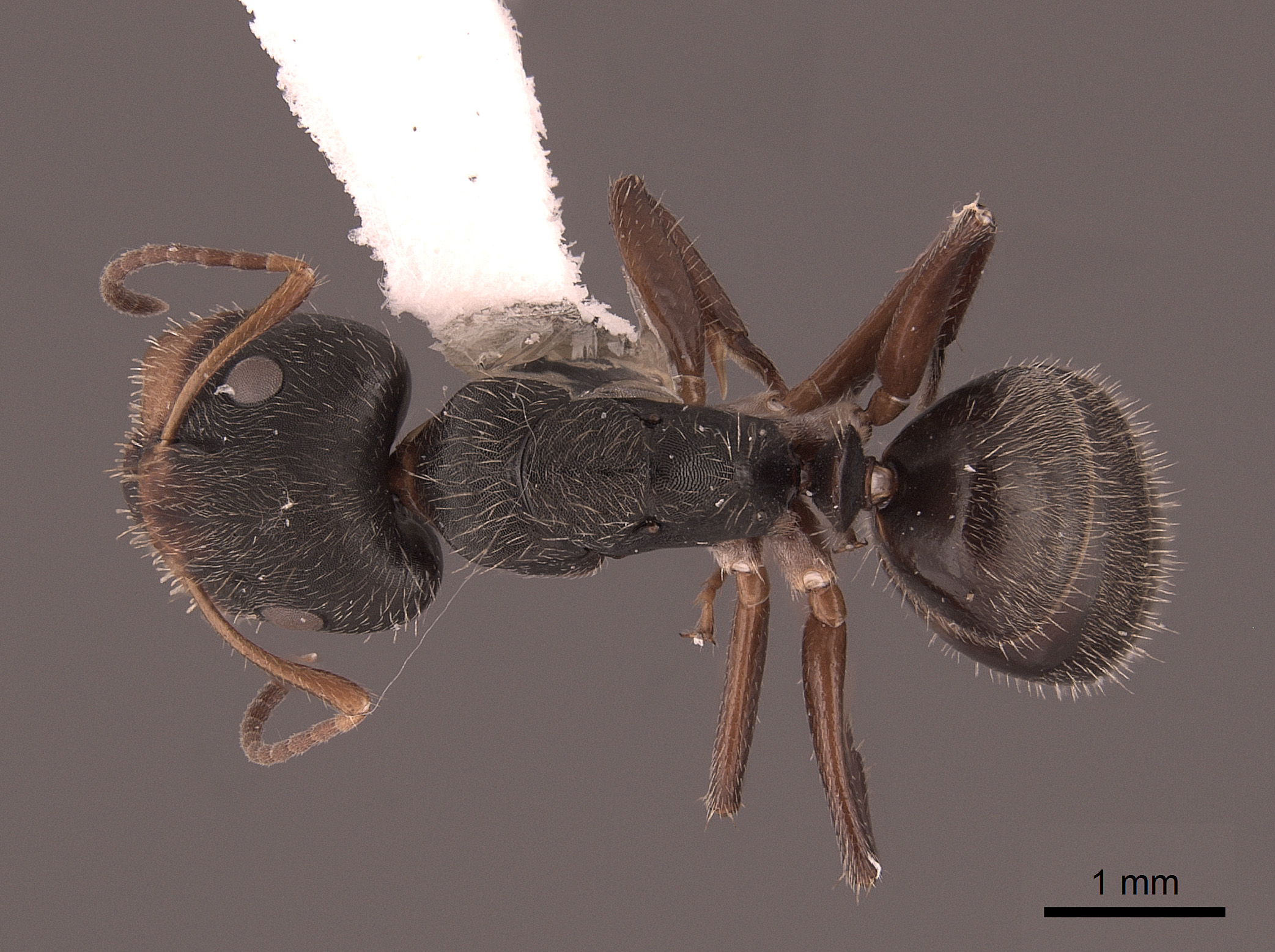 Image of Camponotus cuneidorsus