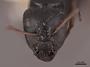 45753 Camponotus gestroi H IN