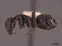 45753 Camponotus gestroi P IN