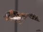 2821894 Pseudomyrmex gracilis P IN