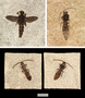 Wasps from the 18-inch layer of FBM Locality A.  Top left) A ?flower wasp?, family Scoliidae, with a body length of 35 millimeters (specimen is FMNH PE60851).  Top right) An unknown variety of wasp, with a body length of 25 millimeters (specimen is FMNH PE60849).  Bottom) Part and counterpart split of an unknown variety of wasp with a body length of 20 millimeters (specimen is FMNH PE60938a and b).