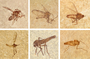Various mosquitoes from the 18-inch layer of the FBM. Left) Specimen number FMNH PE60949 with a body length of 5 millimeters from FBM Locality A. Middle) Specimen number FMNH PE60990 wuth a body length of 7 millimeters from FBM Locality E. Right) Specimen number FMNH PE61050 from FBM Locality A.