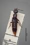 2819411 Belonuchus argentinus HT d IN