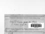 Polytrichastrum longisetum image