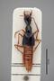 2819417 Belonuchus angusticollis ST d IN