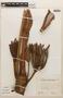 Cecropia sciadophylla image