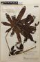 Cecropia angustifolia image