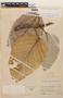 Coussapoa villosa Poepp. & Endl., COLOMBIA, F
