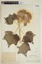 Hibiscus mutabilis image