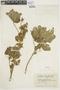 Malachra alceifolia image