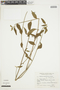 Pavonia angustifolia Benth., ARGENTINA, F