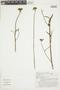Pavonia angustifolia Benth., BRAZIL, F