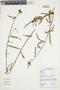 Pavonia angustifolia Benth., GUYANA, F