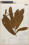 Virola guatemalensis (Hemsl.) Warb., COSTA RICA, R. Aguilar F. 5094, F