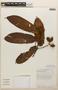 Virola guatemalensis (Hemsl.) Warb., COSTA RICA, G. Rivera 1910, F