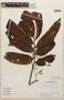 Virola guatemalensis (Hemsl.) Warb., COSTA RICA, J. Gómez-Laurito 11484, F