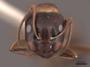 45827 Camponotus nearcticus H IN